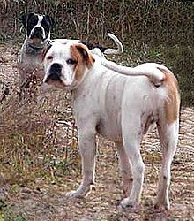 Alapaha Blue Blood Bulldog - A.k.a. Otto Bulldog, Catahoula Bulldog - United States - Rare dog breed