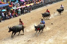 In Pictures: Racing buffaloes in Thailand #fb