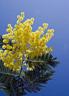 Du 20 au 28 février c'est la Fête du mimosa à Mandelieu-La Napoule. N'hésitez pas à y faire un crochet lors de votre séjour au Grand Hôtel, Mandelieu est à 20 minutes seulement de notre établissement.