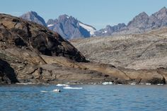 We spotted this big boy from our kayaks in Uttendal sound, near Kangerlussuaq in east Greenland.