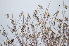 Snow buntings by Mary Holland of Naturally Curious