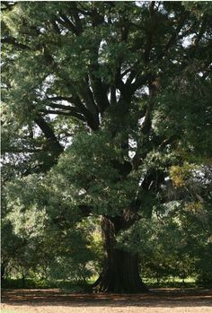Willow Oak Latin: Quercus phellos