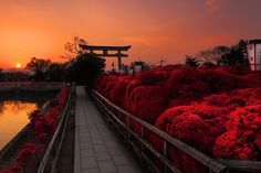 "jbrown516: "" Kirishima azalea, Kyoto Shimbun Photo Contest """