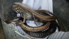 #Jenglot Berbadan Ular, Benda menyerupai #ular berkepala manusia bikin heboh warga Desa Teupin Keuyun, #Aceh Utara, Provinsi Aceh.