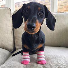 From @martha_dachshund: Happy #socksunday #cutepetclub [source: http://ift.tt/2gaEN4C ]