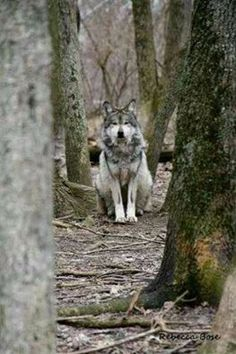 What a beautiful specimen of another species that belongs here - SAVE THE WOLVES