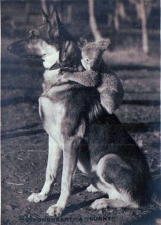 Shepherd & Koala baby - there's a strange couple. But the dog gets hugged a lot, so maybe it all works out OK. Notice the alert stance of the dog.