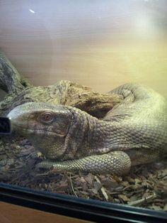 Teenage komodo dragon#2