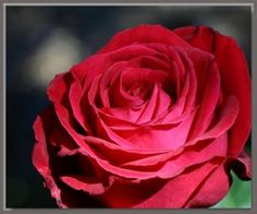 How To Plant and Prune Rose Bushes