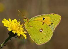 Mariposas amarillas de Colombia