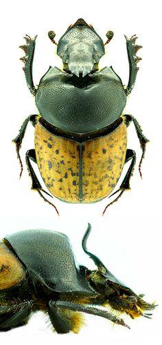 Onthophagus (Palaeonthophagus) gibbulus