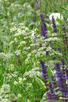 ✻❤︎   wildflowers  - astrantia major and salvia caradonna/pia