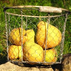 Quinces in the basket...