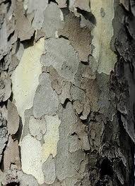 Sycamore tree bark- hello god