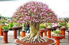 Bonsai - Cerejeira