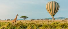 Travel to Africa on your mind? Here's why Tanzania should be on your bucket list when exploring the vastness of Africa. From Hot Air Balloon Rides, watching the Great Migration or simply lounge away on the breathtaking Zanzibar beaches; Tanzania just about has it all. But don't take our word for it - experience it for yourself #explorer #explorersafari #exploreafrica #travel #traveltoafrica #africa #tanzania #safari #zanzibar #greatmigration #explore #bucketlist #hotairballoon #giraffe #wildlife Balloon Rides, Air Balloon, Balloons, Zanzibar Beaches, The Great Migration, Tanzania Safari, Africa Travel, Bird Watching, Exploring