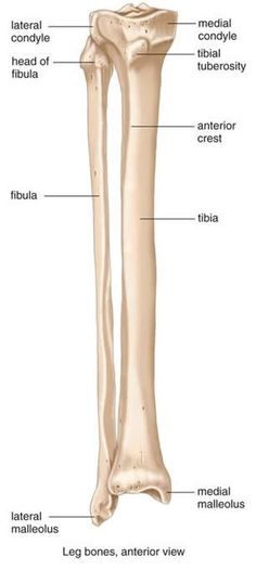Tibia Fibula Anatomy Tibia And Fibula Diagram Google Search Anatomy