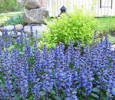 Rönsyakankaali | Ajuga reptans | Bugle/blue bugle/bugleherb/bugleweed/ carpetweed/carpet bugleweed/common bugle
