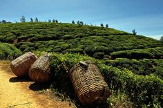 Tea Plantation Near Nuwara Eliya Pinterest Tumblr, Picture Postcards, Far Away, Check It Out, Cactus Plants, Sri Lanka, Tours, In This Moment, Tea