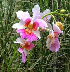 Singapore orchid....