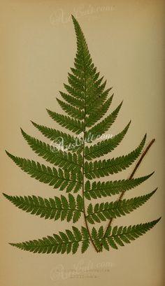 cibotium glaucescens (L)      ...