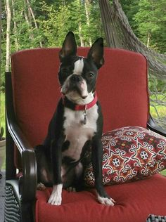 #bostonterrier #dog I want the hair and cushion too