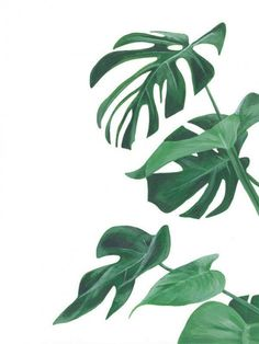 Plants illustration monstera ideas for 2019 Plant Painting, Plant Art, Watercolor Leaves, Watercolor Paintings, Green Watercolor, Images Instagram, Flora Print, Plant Wallpaper, Leaves Wallpaper