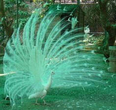 Resultado de imagem para white peacock in india