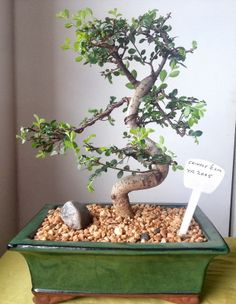 Bending Bonsai