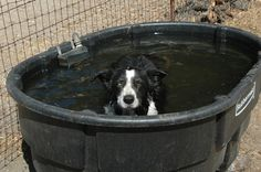 Dog cooling off in the horse's watering trough