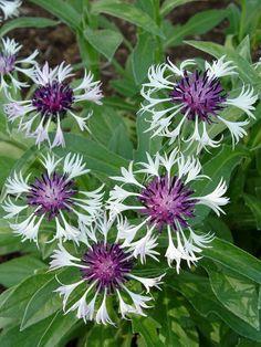 : Mountain bluet 'Amethyst in Snow' * Botanical name: Centaurea ...