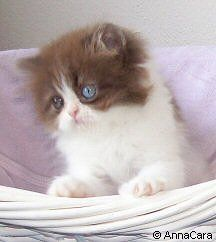 Chocolate & White Bicolor Persian Kitten (Odd eyed) ♥
