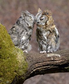 """A lovely tender moment between two Eastern Screech Owls captured by """"Nature's Angle"""". of Prey Beautiful Owl, Animals Beautiful, Cute Animals, Owl Who, Screech Owl, Owl Photos, Mundo Animal, Cute Owl, All Gods Creatures"""