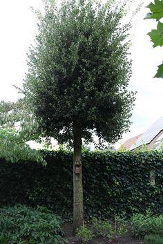 Quercus ilex - Maréchal