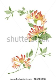 watercolor illustration Honeysuckle in simple background