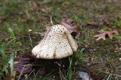 How To Get Rid Of Mushrooms In The Lawn With Pictures