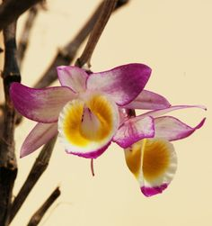 Dendrobium gratiosissimum