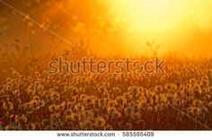 Summer evening meadow at sunset with backlit fluffy dandelions and dew drops