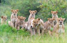 Urgent action needed to save the lion, king of the jungle in the wild, from slaughter Prides are in decline, with the population of lions in the wild plummeting by half in the last 25 years Animals Are Beautiful People, Majestic Animals, Beautiful Cats, Animals And Pets, Baby Animals, Cute Animals, Wildlife Photography, Animal Photography, African Big Cats