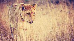 Lioness Wallpaper #6890872