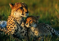 If Wilderness Could Speak   Cheetahs playing in the African Savannah grassland beautiful animal