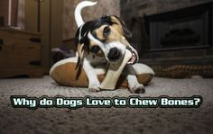Why do Dogs Love to Chew Bones?  https://thepuppyplace.org/why-do-dogs-love-to-chew-bones.html