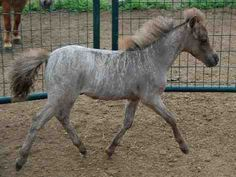 A horse coat of a different color. The rarest of rare - Miniature Horse Forum - Lil Beginnings Miniature Horse Talk Forums - Brindle Rare Horse Colors, Horse Coat Colors, Brindle Horse, Horse Markings, Rare Horses, Horse Pattern, Animal Totems, Different Colors, Unique Colors