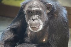 """JAMIE CHIMPANZE : Known as """"The Boss"""", Jamie is 38. She's known for being the leader, the one in charge (of the other chimps and us humans too!). She absolutely loves her cowboy boots and doing perimeter patrols around her outdoor enclosure. She's extremely intelligent and serious, yet she has a playful side. And as much as she is demanding, bossy, stubborn, intense, mischievous and moody, she is also determined, passionate and uninhibited. We all LOVE Jamie!"""