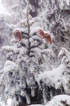 A White Pine