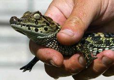 #Reptiles: las primeras víctimas del calentamiento global - Uno TV Noticias: Uno TV Noticias Reptiles: las primeras víctimas del…