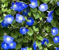 Morning Glories. We've always had these at our house, wherever we are. We think these are pretty