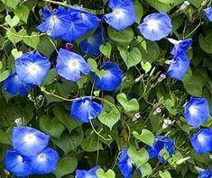 Morning Glories in beautiful blue