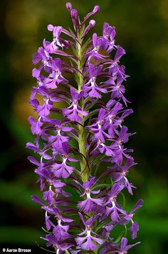 Small Purple-Fringed Orchid: Platanthera psycodes -  Flickr - Photo Sharing!