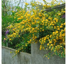 Kerria japonica ´Pleniflora´ / Kéria japonská, cm, Yellow Flowers, Spring Flowers, Pieris Japonica, Front Flower Beds, Plantation, Cool Plants, Shrubs, Around The Worlds, Bloom